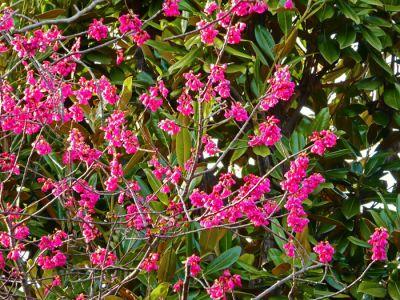 俳友の家の寒緋桜、今年も咲いた。